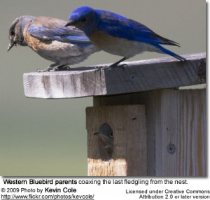 WesternBluebirdparents 300x286 Bluebirds and SandHill Cranes