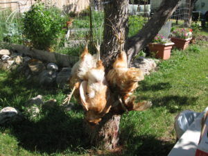 IMG 0339 300x225 Culling Chickens