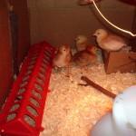 chickens, week 2