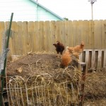 chickens on the compost