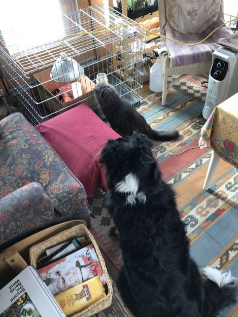 Grey cat and border collie watch new chicks in a box inside a dog crate.