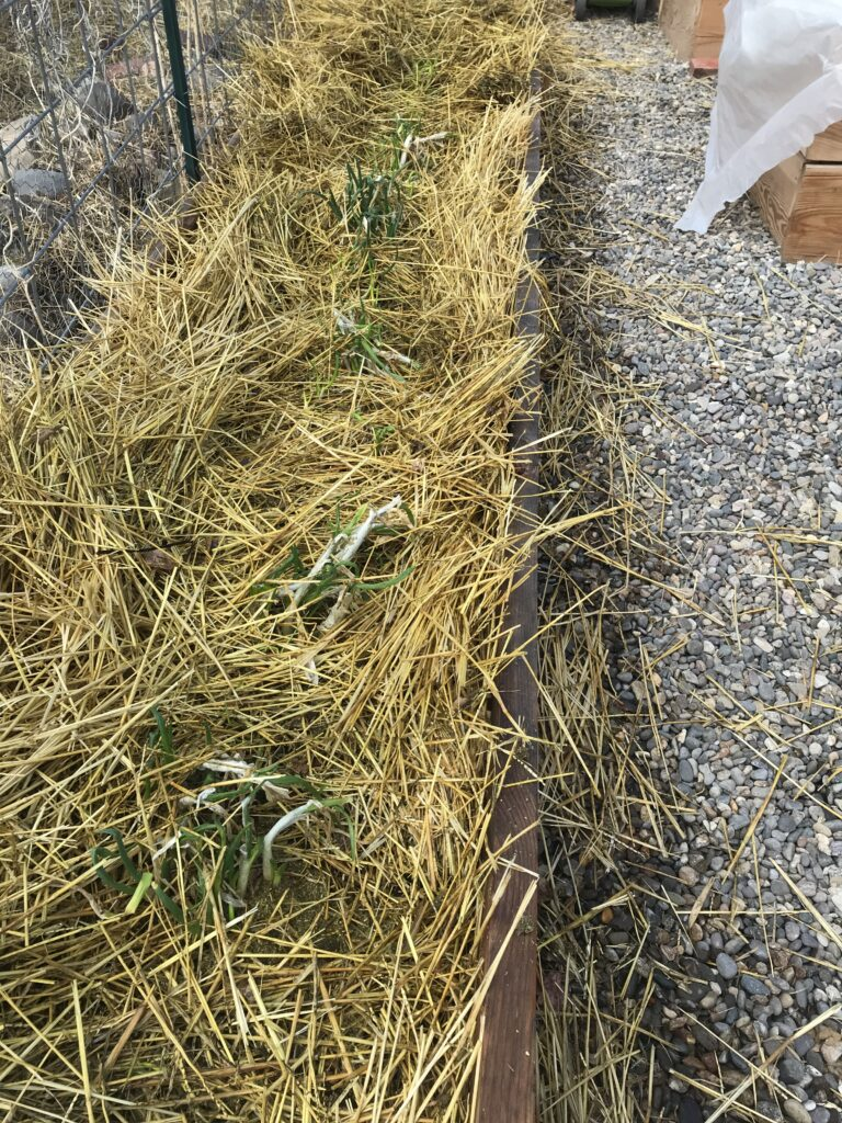 Raised garden bed full of straw with onion shoots visible.